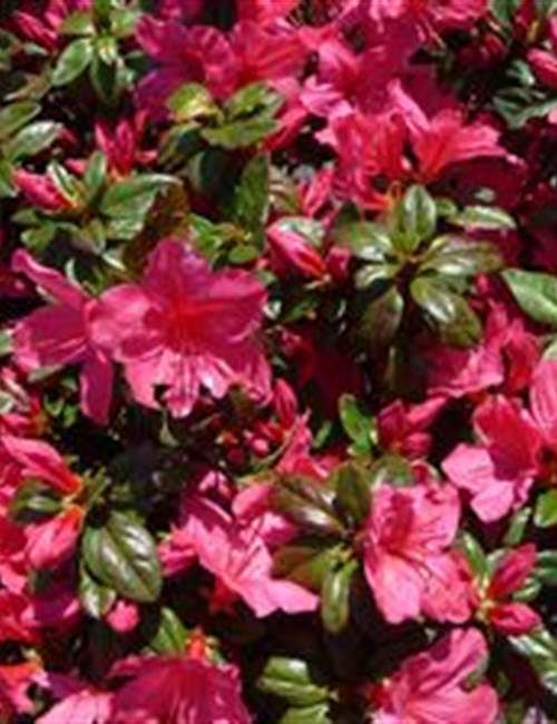 Azalea Sunglow Rhododendron 'Sunglow'