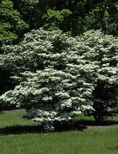 Viburnum 'Summer Snowflake' Viburnum plicatum 'Summer Snowflake'