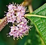 spring blooms American Beautyberry